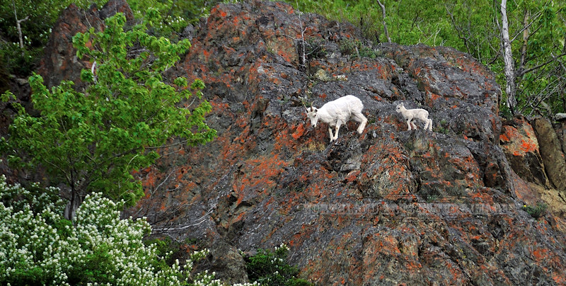 SD-2008.6.9#009. A Ewe and newborn lamb make thier way along the cliffs near Windy Point, Turnagain Arm Alaska.