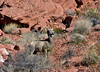 SBHD-2021.2.21#5567.2. A Ewe Desert Bighorn sheep. The matriarch of a group of ewes and lambs with a couple of year and a half old sickle horn rams.