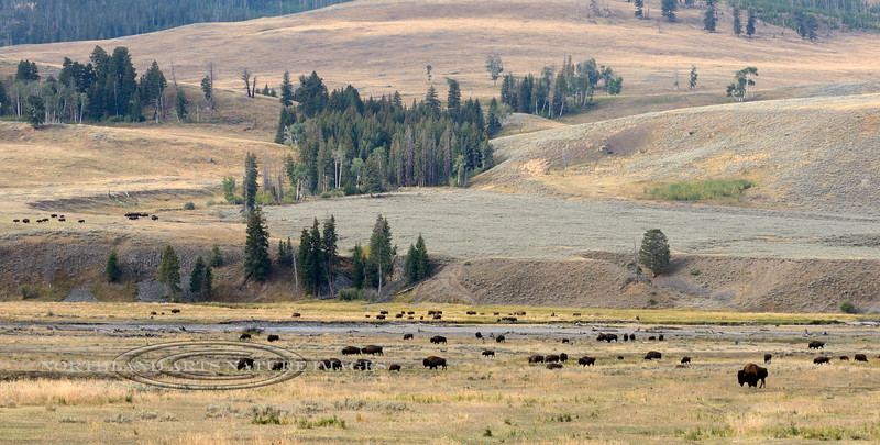 BP-2017.9.14#3661-A Plains Bison herd bull tending a large group of cows and calves. Lamar Valley, Yellowstone Park Wyoming.