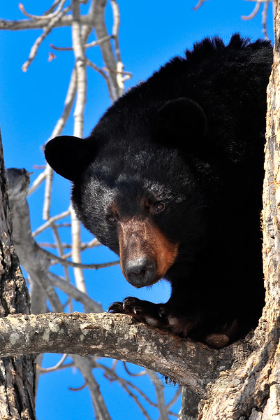 A Black Bear peeks out from it's den on a sunny day in mid April. #418.029.