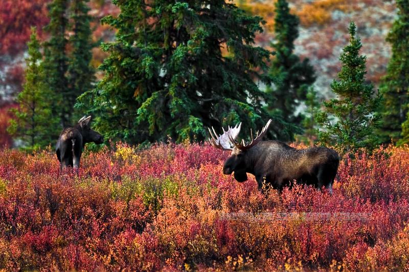 Alaska Moose. A bull pursues a cow in the early rut. Denali Nat.Park,Alaska. #94.178. 2x3 ratio format.