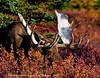 Alaska bull moose. #tfsf94.225. 3x4 ratio format.