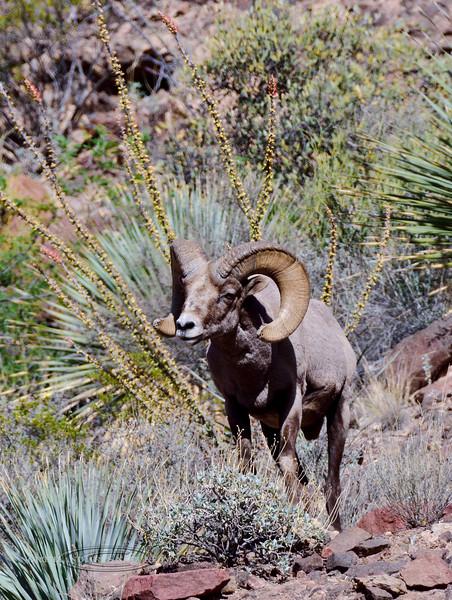 SBHRM-2018.4.12#3243. An Arizona Rocky Mountain Bighorn.