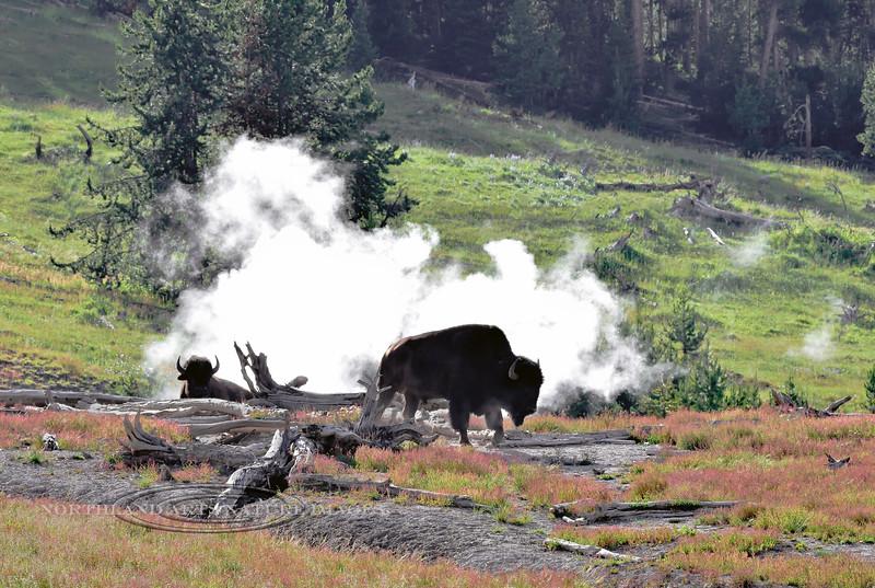 BP-2018.7.4#1037-Plains Bison bulls hanging out at a Sulphur Cauldron. Yellowstone Park Wyoming.