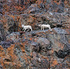 SD-2009.11.24#002.3. The estrus has just started and this ram is intent on staying with this ewe. I've been watching for quite a while as she's been trying to elude him all over the nastiest cliffs here near Windy Point. Turnagain Arm Alaska.