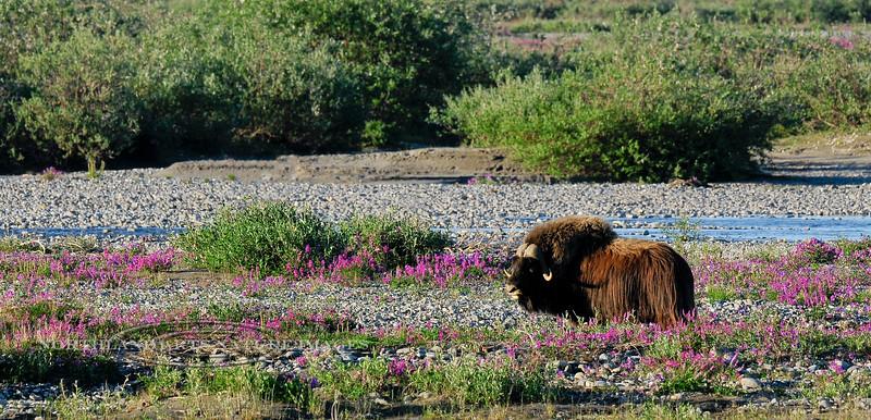 55-An old bull Muskox browsing in Dwarf Fireweed along the Sagavanirktuk River. North Slope Alaska.