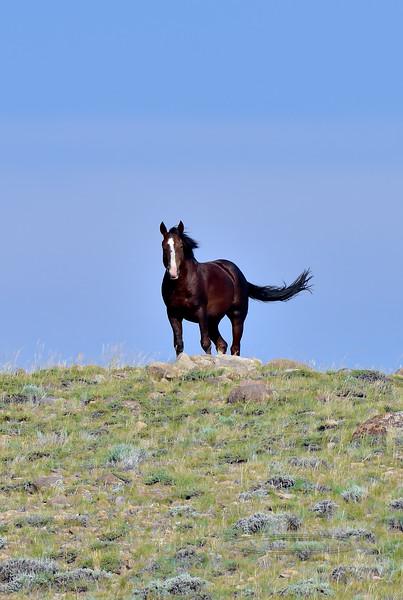 H-2018.7.7#2909. Horse, Wild. Wyoming.