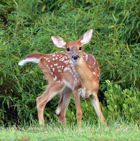 DW-2020.7.25-There's nothing more striking or good looking in the woods then a Whitetail deer spotted fawn. Penn's woods, Pennsylvania.