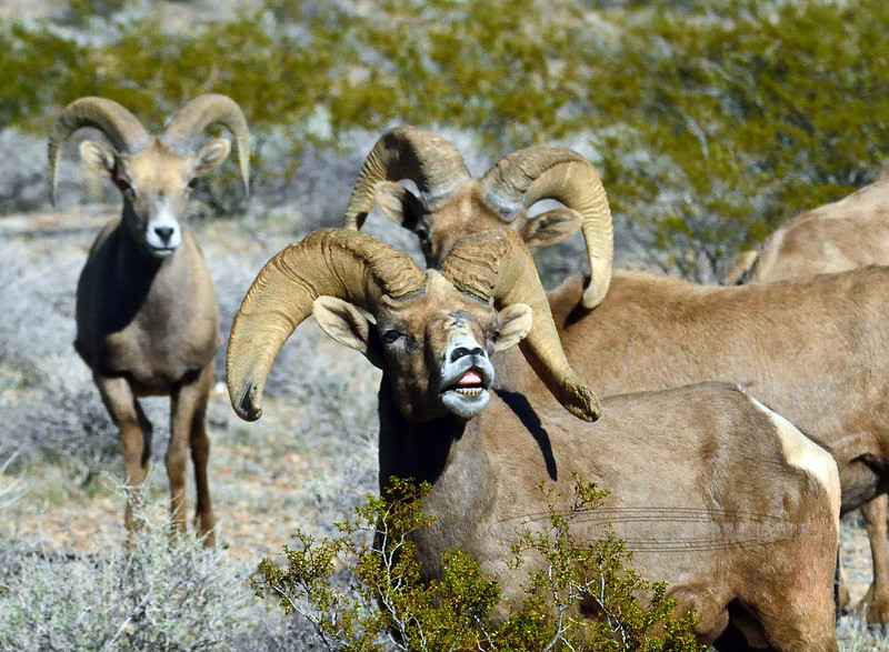 SBHD-2019.1.18#643.4.3. A Desert Bighorn ram challenging some other rams nearby with a lip curl. Lake Mead Nevada. Photo by my buddy Rick Ullery