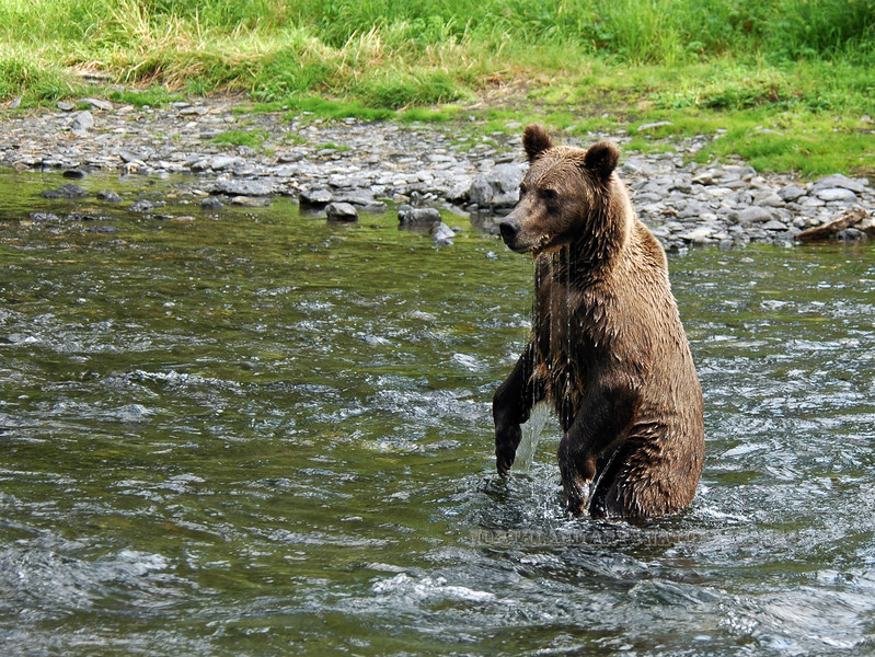 A young Brown bear searching for Red Salmon. Kenai Peninsula, Alaska. #731.0316. 3x4 ratio format.
