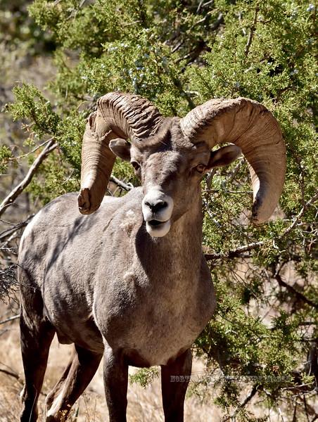 SBHRM-2018.6.12#548. An Arizona Rocky Mountain Bighorn.