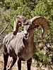 SBHRM-2018.6.12#548. An Arizona Rocky Mountain Bighorn.