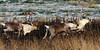 Barren Ground Caribou. The bull on the lt. is tending a small group of cows and  running two smaller satellite bulls. Kenia Peninsula,Alaska. #1022.028.