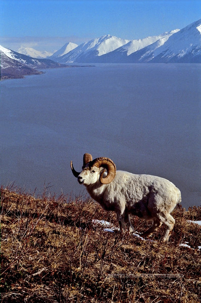 The heavy full curl Dall ram referred to as 1-Eye. High on the hills above Turnagain Arm,Chugach mountains, Alaska. #45.8. 2x3 ratio format. Scanned and repaired from old film stock.