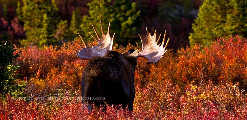 "M-2009.9.4#068.2. Alaska Moose. A bull shows his antlers in a ""flehmen"" display. Savage Country, Denali Park Alaska."