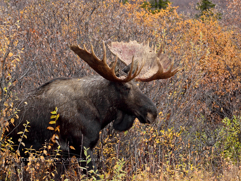 M-2015.9.15#048. Alaska Moose. nine mile, Denali Park Alaska.