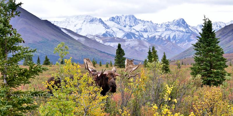 M-2014.8.31,2#259. A bull shedding velvet. Thirteen mile, Denali Park Alaska.