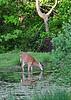 DW-2010.5.10#323. A whitetail doe getting a drink. Upper Black Eddy, Pennsylvania.