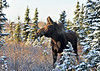 Alaska Moose. Anchorage,Alaska. #1110.053.