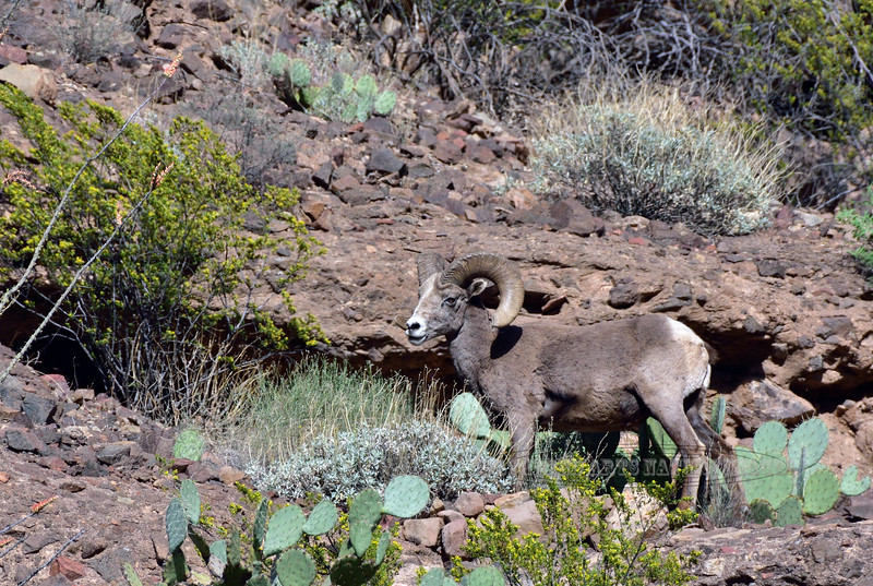 SBHRM-2018.4.12#3277. An Arizona Rocky Mountain Bighorn.