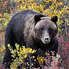 BG-2011.8.30#005.3XX. A young male Grizzly. A handsome dark bear with a light collar and head. I could recognize this bear  every year after he acquired the scar in front of his right eye when he was in his second year. This image was captured near mile seven in the Savage country, Denali Park Alaska.
