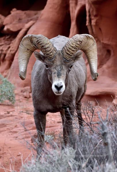 SBHD-2019.1.19#2189.2. A Desert Bighorn ram.