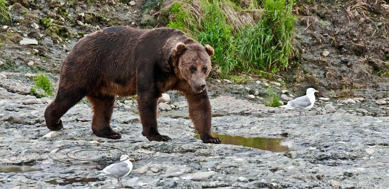 Brown Bear. Near McNeil River Falls,Alaska. #812.221. 1x2 ratio format.