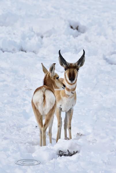 AP-2019.2.24#152. Pronghorn Antelope. Yavapai County Arizona.