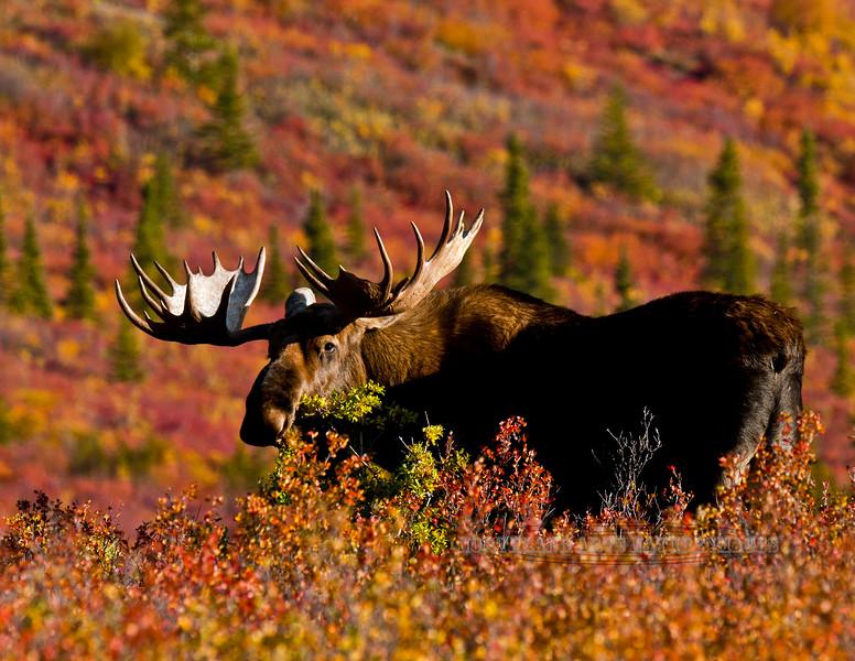 M-2009.9.5#204. Alaska bull moose in spectacular fall color. Savage Country, Denali Park Alaska.
