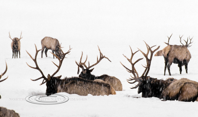 E-1985.3#64dx. Rocky Mountain Elk. A total whiteout scene on a sleigh ride in the Nat. Elk Range near Jackson Hole Wyoming. This was my first opportunity observing and photographing elk with my buddy Rick Ullery. Scanned from a 35 year old slide transparency.