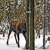 A great old Alaska moose thrashing trees. Anchorage, Alaska. #111.142. 1x1 ratio format.