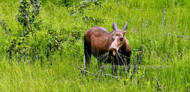 121-2010.7.21#025. A cow moose grazing on sedges along the Snow river. Kenia Peninsula Alaska.
