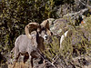 SBHRM-2018.6.12#537. An Arizona Rocky Mountain Bighorn.