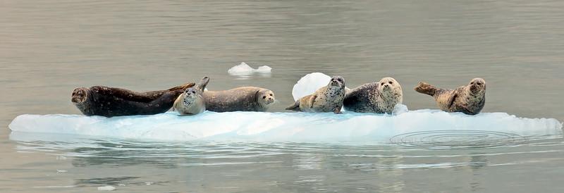 MMHS-2016.8.4#965. A group of Harbor Seals laying up on an Iceberg. Kenai Fjords Alaska.