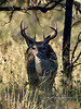 DC-2018.10.16#089. Coues Whitetail buck. Arizona.
