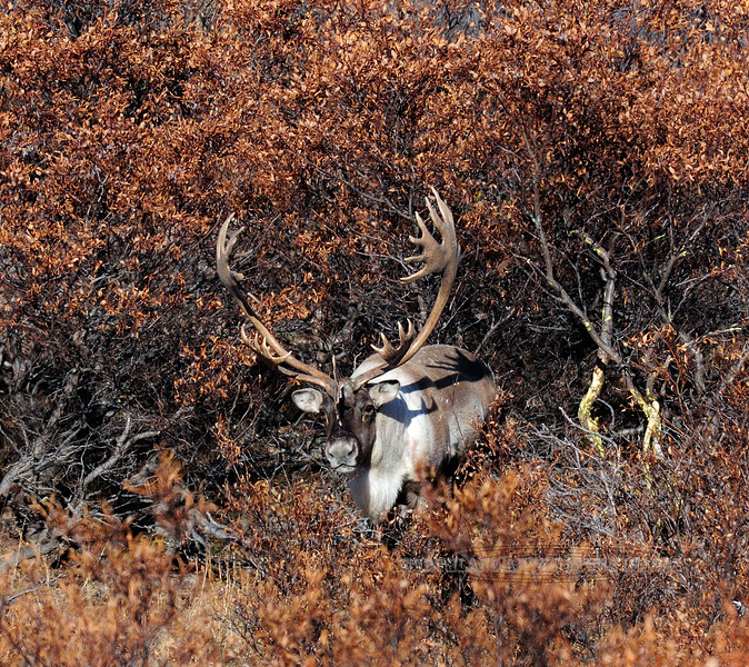 C-2012.10.11#219.2 A really special opportunity getting to observe a bull caribou like this. Denali Country Alaska.