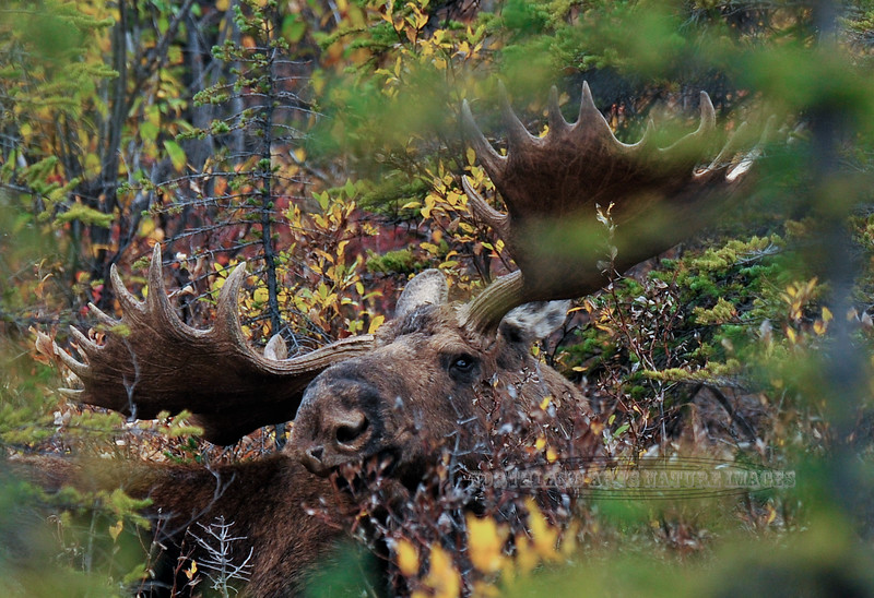 M-2009.9.12#201.3. An atypical bull moose that lived in the Savage country of Denali Park Alaska for many years.