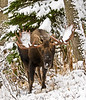 Alaska Moose. A special opportunity with fresh early season snow and some fairly nice soft light the mourning after. Anchorage, Alaska. #1013.045. Will accommodate 2x3,3x4 or 8.5x11,11x14,16x20.