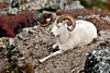 SD-2008.9.5#132-A  Dall ram in a cliffy area of Savage Canyon chewing his cud. Denali Park Alaska.