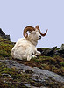 SD-2003.6.2#5b4. I spent about three hours with this Dall ram engulfed in clouds with the rain and this was the only image I got with a faint blue background. On the top of a ridge in Denali Park Alaska. Scanned and salvaged from old film stock.
