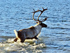 A bull caribou on the fall migration trek. Alaska. #1015.372. 3x4 ratio format.