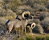 SBHD-2021.2.21#5705.1. A pair of pretty nice Desert Bighorn rams browsing and grazing on desert brush and grass.