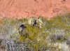 SBHD-2021.2.21#5846.2. A Desert Bighorn ram in Creosote brush.