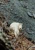 GM-1985.5#0010c. My first Mountain Goat image. A nanny on Mother Goose Glacier, Kenai Peninsula Alaska.