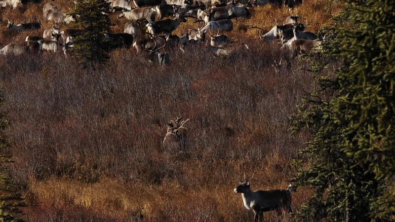 C-2011.10.4b#005. Two bulls locked antlers-Near Paxson Alaska. Video