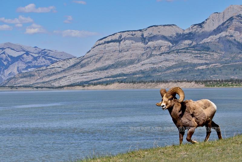 SBHRM-2015.5.20#1630. A Rocky Mountain Bighorn ram. Alberta Canada.