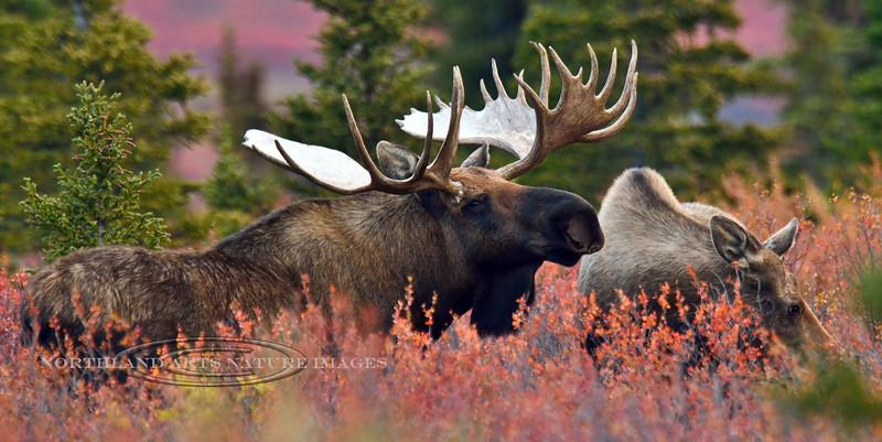 M-2014.9.9#114. The goofy antlered bull tending a cow. Eleven mile, Denali Park Alaska.