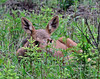 M-2016.6.12#104. A moose calf maybe a couple weeks old. Denali Park Alaska.