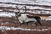 "A ""rutty"" Barren Ground Caribou bull in the Denali country. Eastern Alaska Range, Alaska. #107.026. 2x3 ratio format."