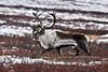 "C-2010.10.7#026. A ""rutty"" Barren Ground caribou bull in the Denali country. Eastern Alaska Range Alaska."